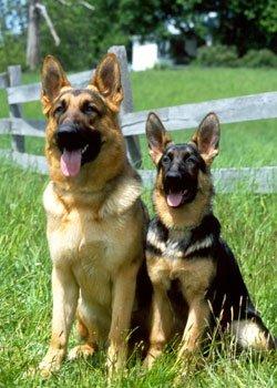 Alman Çoban Köpeği  [ Alman Kurdu ]